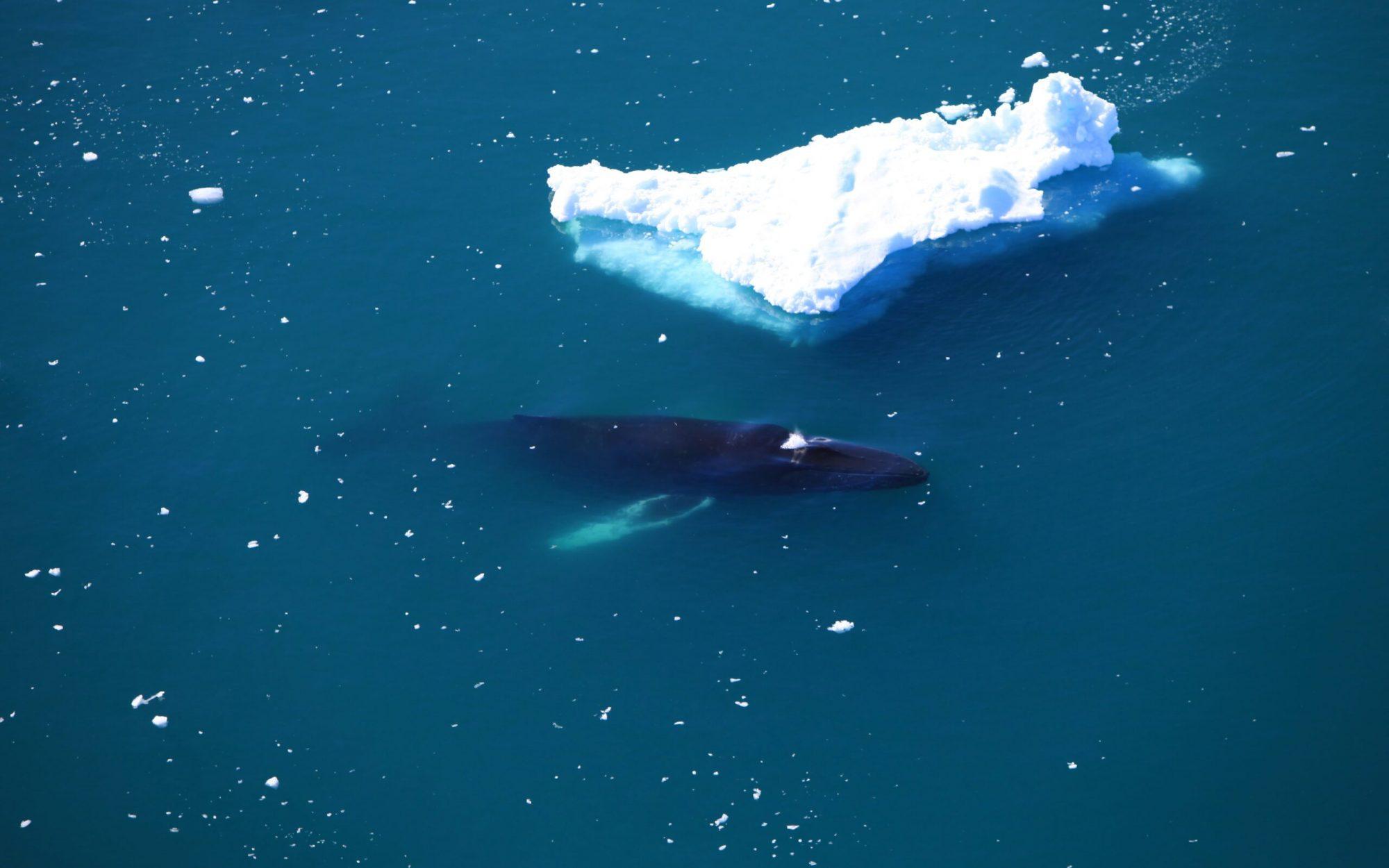 Humpback whale near Ilulissat-min