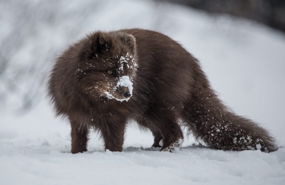 Polar fox in snow-min